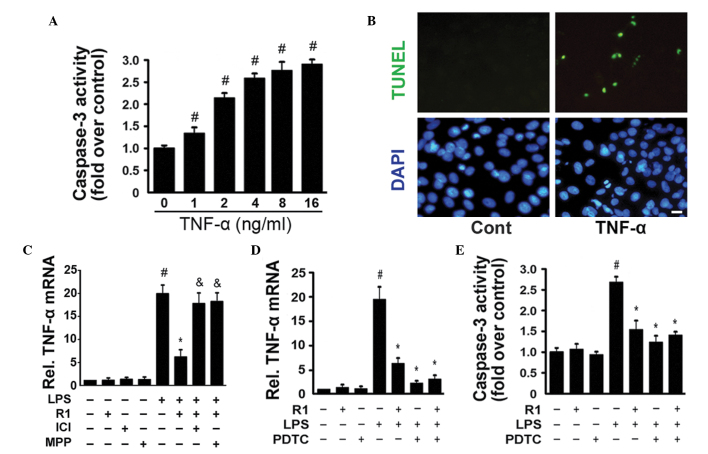 TNFα stimulates the activation of caspase-3 and apoptosis in H9c2 cardiomyocytes. (A) H9c2 cells were cultured with the indicated concentrations (0–16 ng/ml) of TNF-α for 24 h. The activity of caspase-3 was measured using a fluorometric assay and expressed as the fold-change compared with the control (n=6 per group; # P