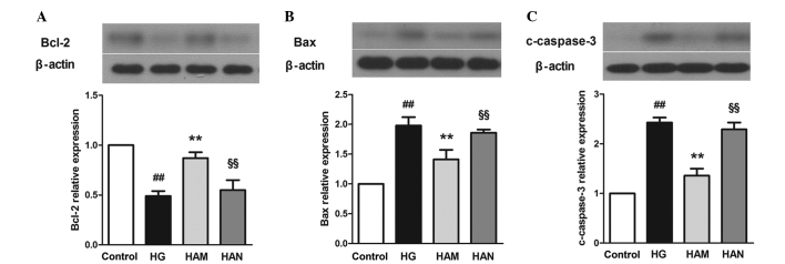 Agmatine treatment may protect cells from glucose-induced apoptosis by increasing Bcl-2 (A), and decreasing Bax (B) and c-caspase-3 (C) expression levels. NMDA reversed the effects of agmatine. Data are presented as the mean ± standard deviation (n=3). ## P