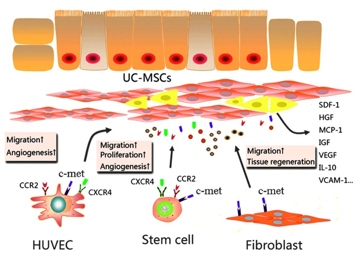 A model of the paracrine mechanisms of UC-MSCs in tissue repair. In damaged tissues, UC-MSCs attract stem/progenitor cells via paracrine activity involving SDF-1/CXCR4 and MCP-1/CCR2 interaction. Potent paracrine chemoattractant and angiogenic factors affect the microenvironment by acting on different cell types, leading to tissue repair and angiogenesis. UC-MSCs, umbilical cord mesenchymal stem cells; SDF-1, stromal cell-derived factor 1; CXCR4, C-X-C chemokine receptor 4; c-met, MCP-1, monocyte chemotactic protein 1; HGF, hepatocyte growth factor; CCR2, C-C chemokine receptor 2; HUVECs, human umbilical vein endothelial cells; IGF, insulin-like growth factor; VEGF, vascular endothelial growth factor; IL, interleukin; VCAM, vascular cell adhesion protein.