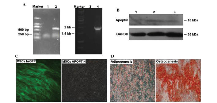 Construction of apoptin-modified MSCs. (A) <t>Lentiviral</t> vector pLV/Final-puro-EF1α-apoptin was identified by PCR. Lane 1/3, negative control; lane 2, amplification product of fragment of apoptin; lane 4, amplification product of fragment of EF1α promoter. (B) Expression of apoptin was confirmed by western blot analysis. Lane 1, negative control; lane 2, MSCs APOPTIN 1; lane 3, MSCs APOPTIN 2. (C) Morphology of MSCs hrGFP and MSCs APOPTIN. (D) Adipogenesis and osteogenesis differentiation of MSCs APOPTIN. Magnification, ×200. MSCs APOPTIN, mesenchymal stem cells expressing apoptin; PCR, polymerase chain reaction; hrGFP, humanized Renilla green fluorescence protein.