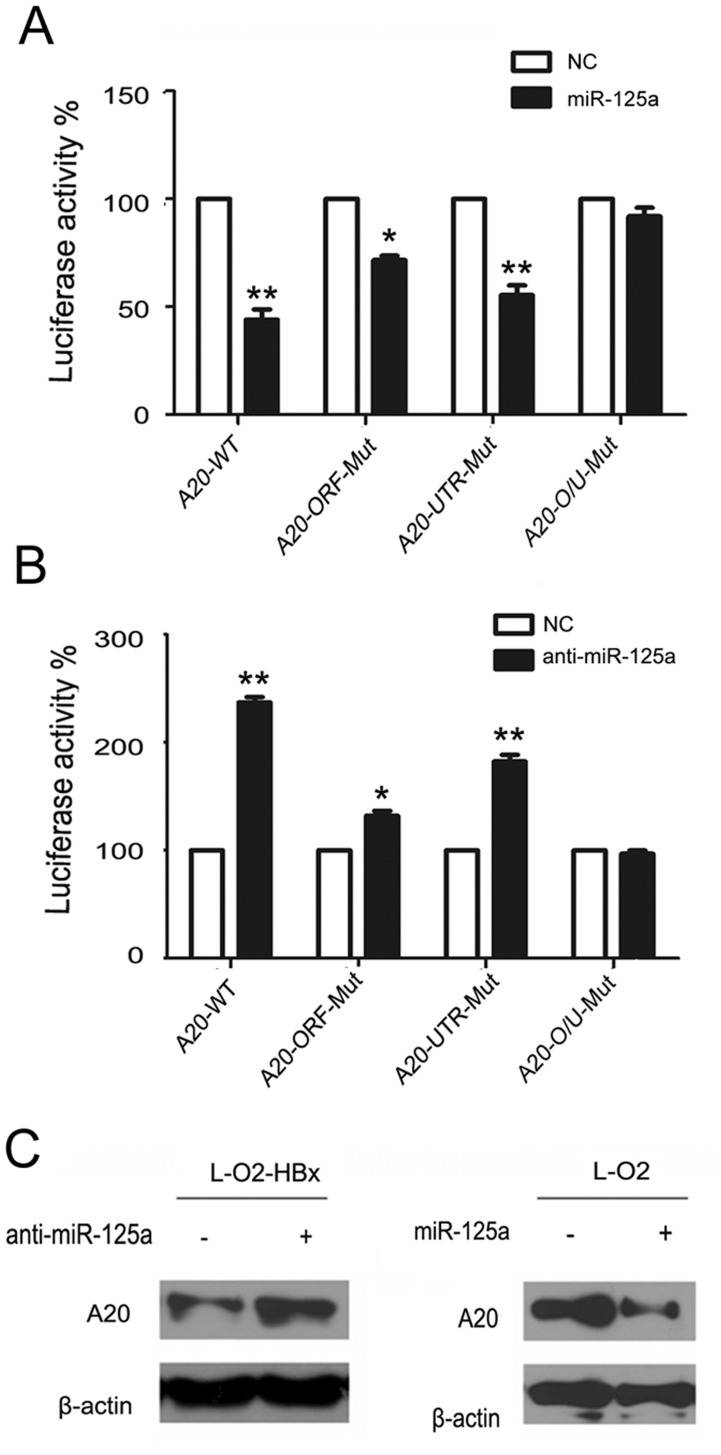 HBx inhibits A20 expression by upregulating miR-125a. (A) The luciferase activity was measured in 293T cells transfected with miR-125a or the control plasmid (NC), along with reporter plasmids (pMIR-) containing the intact or mutant binding sites at the A20 ORF or UTR. (B) Luciferase activity was measured in 293T cells transfected with the miR-125a inhibitor or the control plasmid (NC), along with the pMIR- constructs as in A. (C) The expression of A20 was detected by western blot in L-O2 cells transfected with miR-125a, anti-miR-125a or their controls. Data are from three independent experiments and are presented as the mean ± SEM. *P