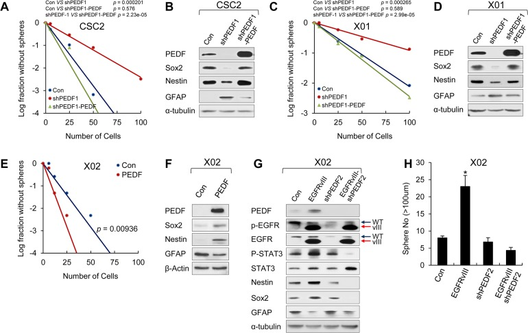 PEDF expression maintains stemness and self-renewal of GSCs. (A, C) LDA was performed in GSCs (CSC2 and X01) infected with shPEDF1-expressing lentiviral, shPEDF1 with PEDF-overexpressing lentiviral, or control construct. CSC2-Con or CSC-shPEDF1; p = 0.000201, CSC2-Con or CSC-shPEDF1-PEDF; p = 0.576, CSC2-shPEDF1 or CSC-shPEDF1-PEDF; p = 2.23e-05 (A) and X01-Con or X01-shPEDF1; p = 0.000265, X01-Con or X01-shPEDF1-PEDF; p = 0.589, X01-shPEDF1 or X01-shPEDF1-PEDF; p = 2.99e-05 (C). (B, D) IB analysis of PEDF (in medium), Sox2, Nestin, and GFAP in CSC2-Con, CSC2-shPEDF1, or CSC2-shPEDF1-PEDF (B) and X01-Con, X01-shPEDF1, or X01-shPEDF1-PEDF (D). β-actin was used as a loading control. (E) LDA was performed in X02 infected with PEDF-expressing lentiviral or control construct. X02-Con or X02-PEDF; p = 0.00936. (F) IB analysis of PEDF (in medium), Sox2, Nestin, and GFAP in X02-Con or X02-PEDF cells. β-actin was used as a loading control. (G) IB analysis of PEDF (in medium), p-EGFR, EGFR, p-STAT3, STAT3, Nestin, Sox2, and GFAP in X02-Con, X02-EGFRvIII, X02-shPEDF2, or X02-EGFRvIII coinfected with shPEDF2-expressing lentiviral construct. (H) Sphere formation assay was performed in X02-Con, X02-EGFRvIII, X02-shPEDF2, or X02-EGFRvIII coinfected with shPEDF2-expressing lentiviral construct. The graph represents the average proportion of sphere number. Counted sphere size is greater than 100 μm. All error bars represent mean ± SEM ( n = 3). * p