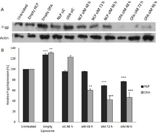 Western blot assay to determine the effect of MDR1 siRNA loaded nanoparticles on the P-gp expression. MCF-7/ADR Cells transfected with different formulations at the 100 nM and incubated for 48, 72 or 96 hr. P-gp downregulation efficiency was calculated by comparing the level of P-gp expression in each transfected group to the untreated group. (A) Top: P-glycoprotein was detected with C219 antibody. Bottom: The same membrane was reprobed with anti-actin antibody. (B) The quantitation of Western blot images carried out by using UVtec software and the protein levels were normalized against actin intensity. Data are means±SEM (n= 3; ** P