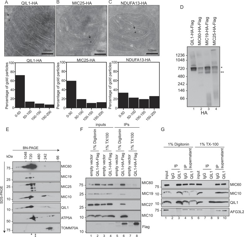 QIL1 localizes at cristae junctions and is present in the mature MICOS complex. ( A – C ) Immunogold labeling of 293T cells overexpressing C-terminally tagged QIL1 ( A ), MIC25 ( B ), or NDUFA13 ( C ) using an α-HA antibody coupled to 10-nm gold particles. Bars, 100 nm. Representative mitochondria are shown. The arrows point to the position of a gold particle. The distance in nanometers between the gold particles and the nearest CJ was measured using the ImageJ software. The histograms show the fraction of gold particles within the indicated distance to the crista junction in nanometers in QIL1-HA (n = 231 gold particles), MIC25-HA (n = 192 gold particles), and NDUFA13-HA (n = 309 gold particles) expressing cells. ( D ) Mitochondria isolated from stable 293T cell lines expressing C-terminally tagged QIL1, MIC60, MIC19, or MIC25 were lysed in 1% digitonin, subjected to BN-PAGE followed by immunotransfer to nitrocellulose membranes and probing with α-HA antibody. The mature ∼700 kDa MICOS complex is highlighted with an asterisk. MIC60, MIC19, and MIC25 were also detected in a sub-complex of ∼500 kDa (two asterisks). ( E ) Two-dimensional blue native electrophoresis of 293T mitochondrial lysates. Endogenous QIL1 is present in the mature ∼700 kDa MICOS complex (asterisk). MIC60, MIC19, and MIC25 were also present in a smaller sub-complex (two asterisks). ( F – G ) C-terminally tagged ( F ) or endogenous QIL ( G ) was immunopurified from mitochondria lysed in 1% digitonin or 1% Triton X-100 (TX100). Immunoblot analysis was performed to detect interaction with other MICOS subunits. DOI: http://dx.doi.org/10.7554/eLife.06265.006