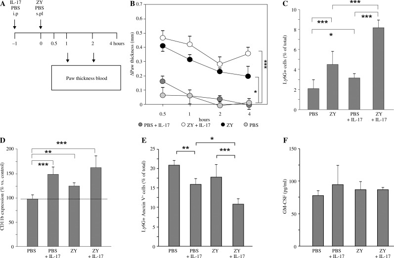 Administration of IL-17 in zymosan-induced paw oedema. A) Schedule of IL-17 treatment and the induction of paw inflammation. BALB/c mice were i.p. injected with IL-17 or PBS. After 30 minutes they received a sub-plantar injection of 30 µl zymosan suspension (20 mg/ml) at the hind paw and PBS at the contralateral one. B) Paw thickness measured in the medial-lateral direction at different time points post-zymosan injection using a calliper. The results are expressed as the difference (D) in mm between baseline and measurements after zymosan/PBS injection. Each time point represents the mean ± SEM ( n = 7 animals per group in 3 experiments), ANOVA. C) Ly6G + CD11b + cells in whole blood and D) expression of CD11b on Annexin V − neutrophils detected by flow cytometry. E) The frequencies of Annexin V + Ly6G + cells in blood and the amounts of GM-CSF in serum 4 hours after the induction of ZIO. Values in C, D, E and F are the mean ± SEM ( n = 7 animals per group in 3 experiments). * p