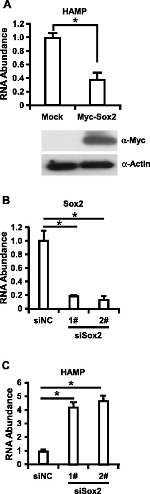 Sox2 negatively regulate HAMP2 expression in primary hepatocytes. Primary hepatocytes were cultured and <t>lentivirus</t> expressing Myc-Sox2 (A) or shRNA targeting Sox2 (B and C) infected the cells. Cells were harvested at 72 h later for Western blotting assay and RT-qPCR assay to determine Myc-Sox2 expression, HAMP expression and Sox2 knockdown efficiency. The experiments were repeated for three times with similar results and data were shown as means ± SE. Statistical analyses were conducted using a one-way ANOVA with Tukey's multiple comparison test to determine individual p-values (B-C) or an unpaired, two-tailed student t-test (A) . Significant differences are indicated by *p
