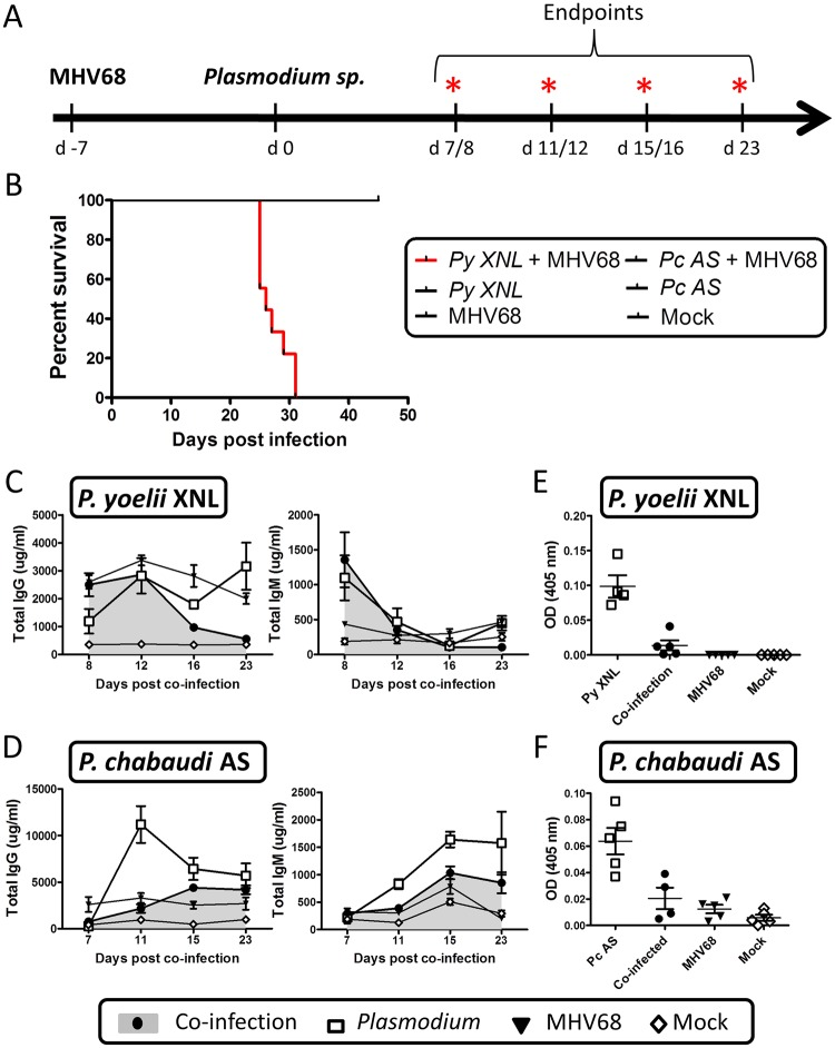 MHV68 co-infection with the non-lethal P . yoelii XNL in C57BL/6 results in lethal malarial disease and suppressed Plasmodium specific IgG response. (A) Timeline of infection. 6–8 week old C57BL/6 mice were infected with 1000 PFU of MHV68 on day -7 followed by infection with 10 5 pRBCs of non-lethal P . yoelii XNL or P . chabaudi AS. Infections consisted of 5 experimental groups: MHV68 + Plasmodium , Plasmodium , MHV68 or mock infected. Each experimental group consisted of n = 5 and was repeated twice. Animals were sacrificed at days 8, 12, 16 and 23 post P . yoelii XNL infection or day 7, 11, 15 and 23 post P . chabaudi AS infection for collection of spleen, lung and blood. (B) Survival analysis of animals co-infected with MHV68 and P . yoelii XNL or P . chabaudi AS. Total IgG and IgM levels in serum in (C) P . yoelii XNL (Day 23 IgG— P . yoelii vs co-infected: p