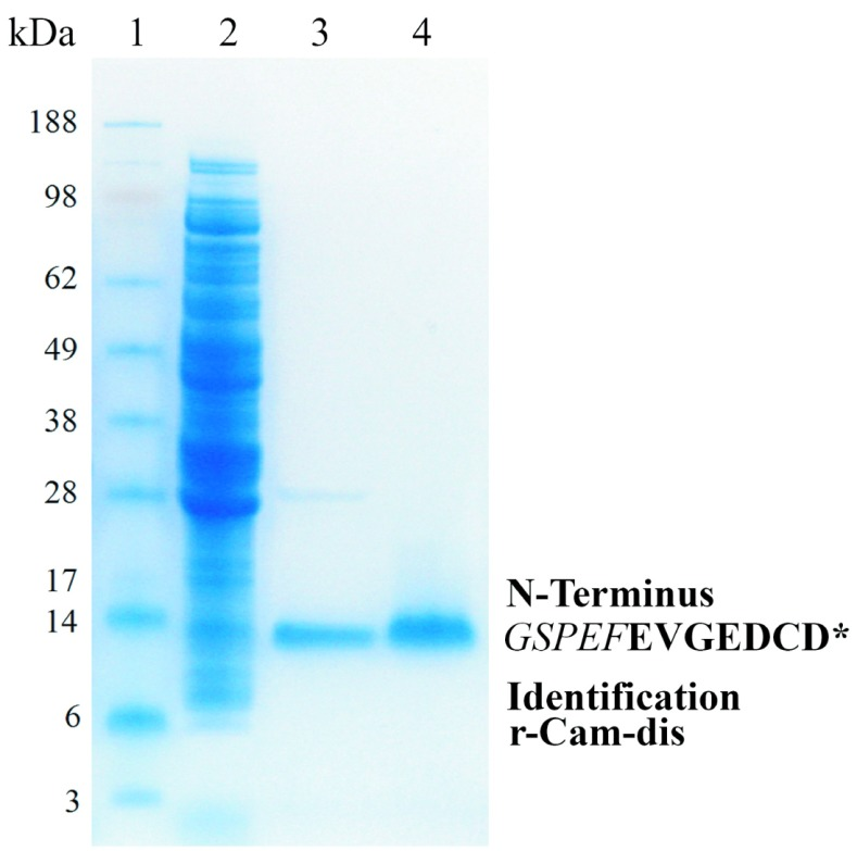Expression and purification of r-Cam-dis analysis by 4–12% SDS-PAGE gel under non-reducing condition. Samples were run on 4–12% (w/v) Bis-Tris Gel using an Xcell SureLock Mini-Cell at 200V for 30min. The gel was stained with Rapid-Stain. Lane 1: SeeBlue Plus2 Markers; lane 2: soluble fraction of lysates of expressed E. coli BL21 cells by <t>BugBuster</t> reagent (150μg); lane 3: cleaved r-Cam-dis after wash with binding buffer (3μg); lane 4: purified r-Cam-dis after wash with high salt buffer (3 μg). An asterisk ( * ) represents the N-terminal amino acid sequence of purified r-Cam-dis containing the five amino acids from the vector (italicized) before the disintegrin sequence, which are shown in bold letters.