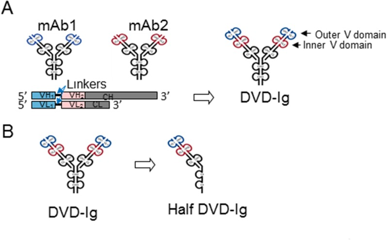 Generation of anti-EGFR and anti-ErbB3 DVD-Ig and half DVD-Ig proteins. (A) DVD-Ig molecules were generated by linking the variable domains mAb1 and mAb2, using various orientations of the two variable domains and linkers. (B) Half DVD-Ig molecules were generated with two mutations (C220S and C226S) in the hinge region and four mutations in the C H 3 region (P395A, F405R, Y407R, and K409D).