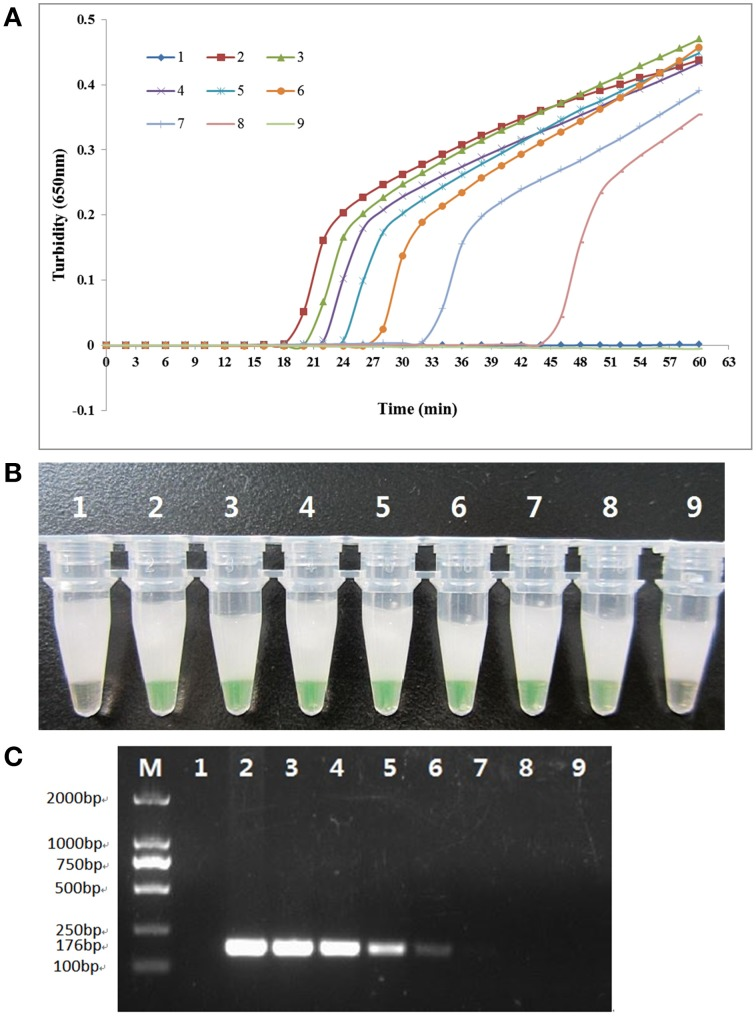 Comparison of the sensitivities of the LAMP reaction and conventional PCR in detecting the rcsA gene of K. pneumoniae . Pure genomic DNA extracted from K. pneumoniae ATCC BAA-2146 was serially diluted 10-fold. (A) Turbidity was monitored every 6 s with a Loopamp Realtime Turbidimeter at 650 nm. (B) The reaction result was detected visually by the addition of 1 μl of fluorescent detection reagent to the 25 μl LAMP reaction mixture before the LAMP reaction. (C) PCR products were separated by 2% agarose gel electrophoresis and stained with ethidium bromide. Amplification was performed at 61°C for 60 min. 1, negative control (double-distilled water); 2, 115.0 ng/μl; 3, 11.5 ng/μl; 4, 1.15 ng/μl; 5, 115.0 pg/μl; 6, 11.5 pg/μl; 7, 1.15 pg/μl; 8, 0.115 pg/μl; 9, 0.0115 pg/μl.