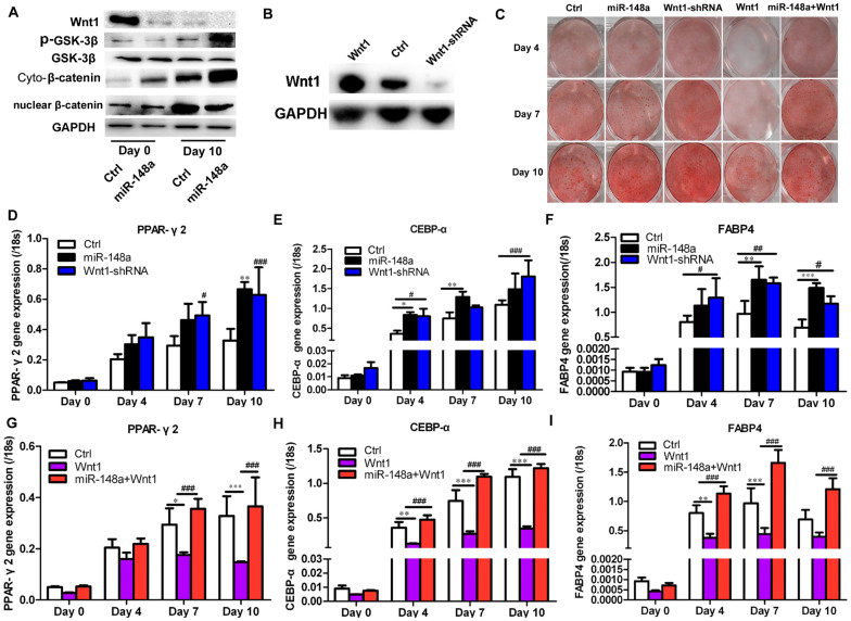 miR-148a regulates adipogenesis in hMSCs-Ad via Wnt. (A) Wnt signal pathway protein level was detected by Western blot. (B) Western blot analysis of Wnt1 in hMSCs-Ad lysates after stable infection with Wnt1-shRNA or Wnt1 construct or control lentivirus. GAPDH blot served as loading control. (C) Oil red O staining indicated the effects of miR-148a on hMSCs-Ad adipogenic differentiation at Days 4, 7, and 10. Transcription levels of adipogenic marker genes, PPARγ2 (D, G), C/EBP-α (E, H), and FABP4 (F, I), were detected by qRT-PCR in different groups at Days 0, 4, 7, and 10 during adipogenesis. * P