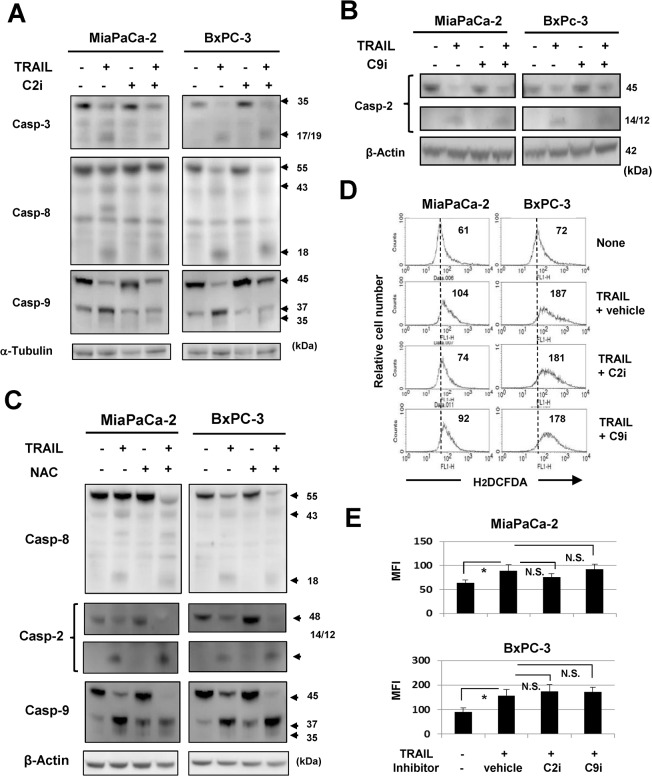 No crosstalk among caspase-2/-9 and ROS in TRAIL-treated cancer cells. (A) MiaPaCa-2 and BxPC-3 cells were cultured with TRAIL (50 ng/mL) with or without caspase-2 inhibitor (20 μM) for 12 h, and the protein expression levels of caspase-3, -8, and -9 were evaluated by immunoblot. α-Tubulin was used as the control. (B) MiaPaCa-2 and BxPC-3 cells were cultured with TRAIL (50 ng/mL) with or without caspase-9 inhibitor (20 μM) for 12 h, and the protein expression of caspase-2 was evaluated by immunoblot. β-Actin was used as the control. (C) MiaPaCa-2 and BxPC-3 cells were cultured with TRAIL (50 ng/mL) with or without NAC (10 mM) for 12 h, and the protein expression of caspase-8, -2, and -9 was evaluated by immunoblot. β-Actin was used as the control. (D) MiaPaCa-2 and BxPC-3 cells were cultured with TRAIL (50 ng/mL) with the indicated inhibitors (20 μM). As a vehicle control, an equal volume of DMSO was added. After 6 h for MiaPaCa-2 and 12 h for BxPC-3, these cells were cultured with carboxy-H 2 DCFDA for 30 min and examined for ROS levels by flow cytometry. The number represents the mean fluorescence intensity. (E) Data represent the mean of three culture wells. MFI: mean fluorescence intensity. * P