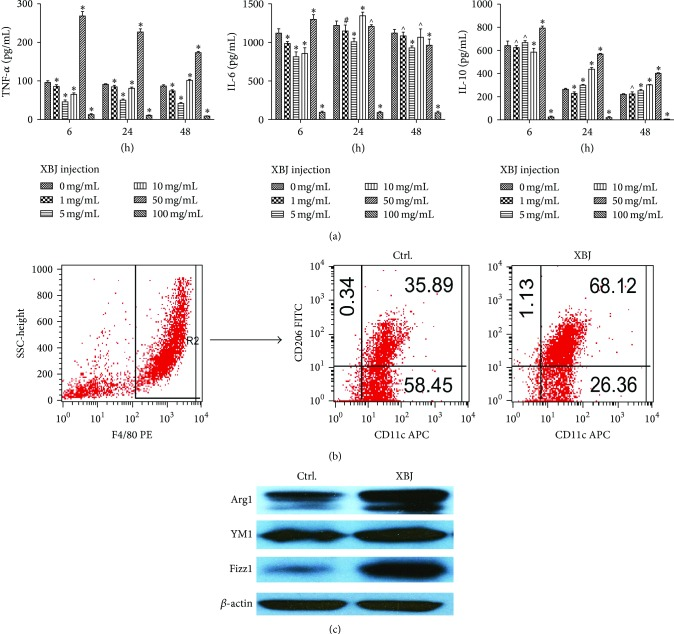 Moderate dose of XBJ (5 mg/mL) enhanced the expression of M2 phenotype markers of mouse peritoneal macrophages. Peritoneal macrophages of mice were, respectively, treated with 0 mg/mL, 1 mg/mL, 5 mg/mL, 10 mg/mL, 50 mg/mL, and 100 mg/mL XBJ in the presence of 100 ng/mL LPS for 6 h, 24 h, or 48 h. Cytokines levels including TNF- α , IL-6, and IL-10 in the medium were determined by ELISA (a). F4/80, CD11c, and CD206 expressions were determined by flow cytometry. The group of F4/80 + CD11c + CD206 − was classified as M1 and F4/80 + CD11c − CD206 + as M2 (b). The treated macrophages were lysed and levels of Arg1, Ym1, and <t>Fizz1</t> were measured by western blot (c). Data represented the mean ± SEM of independent experiment in triplicate. ∗ p