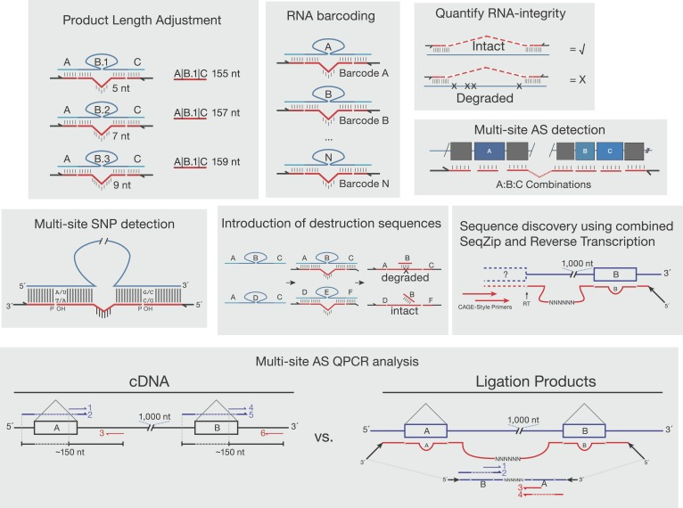 Other proposed uses of SeqZip. Shown are various uses of SeqZip toward multi-site sequence investigation of RNA. 'Product Length Adjustment' has applications similar to those shown in Figure 3E , where isoform discrimination solely on the basis of size separation of RT-PCR products would be ambiguous; with SeqZip, the lengths of individual products can be adjusted through ligamer design. 'RNA barcoding' depicts the introduction of randomized rather than static barcodes, allowing for molecular indexing or amplification bias estimation. 'Quantify RNA-integrity' relies on the requirement of molecular continuity between sites of ligamer hybridization in order to obtain a SeqZip product (check mark). If the intervening sequences are not intact, no product is obtained (X). Thus, SeqZip can be used to monitor the integrity of long RNAs. 'Multi-site SNP detection' is described in the 'Discussion' section 'SeqZip uses and limitations'. The panel depicting 'Introduction of destruction sequences' illustrates how short DNA oligos targeting ligamer-specific barcodes between hybridization regions (in this case 'B') could be useful in the selective cleavage and destruction of particular ligation products. In the example shown, the ABC ligamer product would be cleaved with a restriction enzyme targeting the double-stranded oligo:barcode, while DEF would be left intact for downstream applications. 'Sequence discovery using combined SeqZip and Reverse Transcription' illustrates 5′ end sequence discovery using Cap Analysis of Gene Expression combined with SeqZip ligamers. This allows one to investigate novel 5′ end sequence connections to distant 3′ sequences. 'Multi-site AS QPCR analysis' is also described in the 'Discussion' section 'SeqZip uses and limitations'. The essential benefit over a conventional QPCR workflow is that SeqZip compresses distant sequences into a QPCR-friendly amplicon size and reduces the number of required primers. DOI: http://dx.doi.org/10.7554/eLife.03700.0