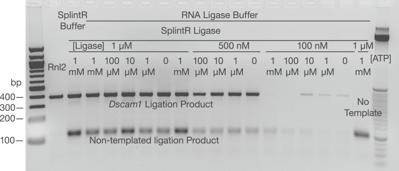Examination of SplintR ligase in the SeqZip assay. Various concentrations of SplintR ligase and ATP were used to generate ligation products using Dscam1 ligamers and S2 cell RNA. Dscam1 ligation products appear as a ∼400 nt band, non-templated products as a ∼120 nt band. DOI: http://dx.doi.org/10.7554/eLife.03700.007