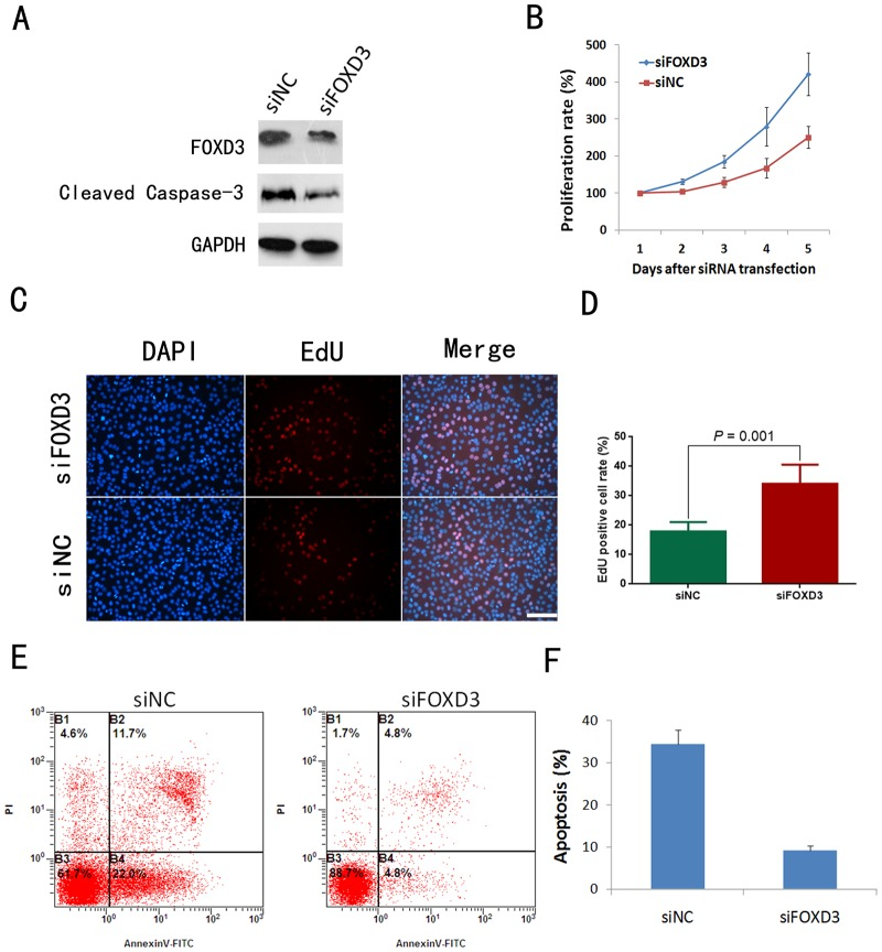 FOXD3 silencing promoted proliferation and inhibited starvation-induced apoptosis in SW1080 cells. A: Western blotting analysis of FOXD3 and cleaved caspase-3 expression in SW1080 cells. B: Cell proliferation assay showing significantly enhanced proliferation rate of FOXD3-silenced SW1080 cells in comparison with siNC-treated SW1080 cells ( P