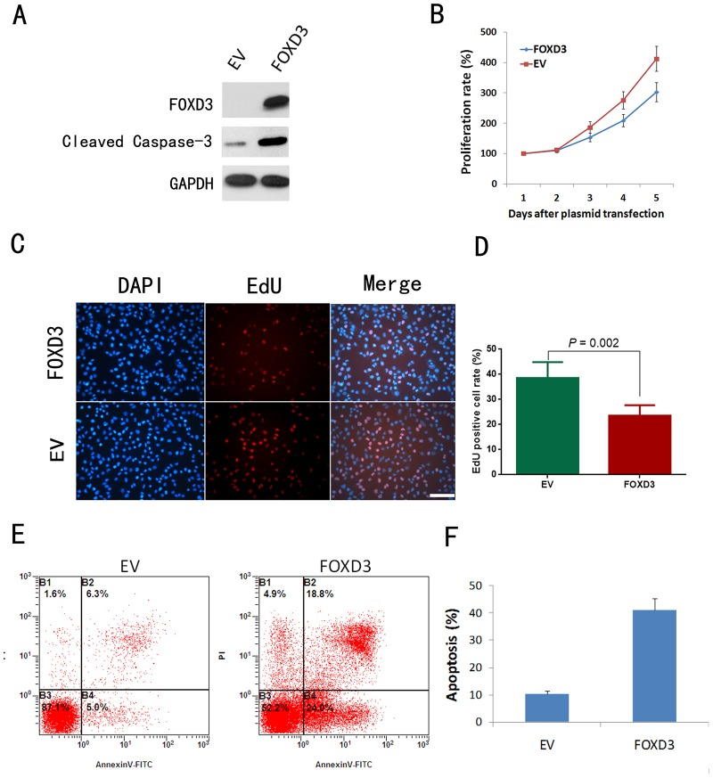 FOXD3 overexpression suppressed proliferation and enhanced starvation-induced apoptosis in U87MG cells. A: Western blotting analysis of FOXD3 and cleaved <t>caspase-3</t> expression in U87MG cells. B: Cell proliferation assay showing significantly enhanced proliferation rate of FOXD3-overexpressed U87MG cells in comparison with EV-treated U87MG cells ( P