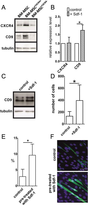 Sdf-1 impact on bone marrow mesenchymal stem cells. (A) Western blotting analysis of CXCR4, CD9, and tubulin in the whole population of bone marrow-derived mesenchymal stem cells <t>(BM-MSCs)</t> as well as of CXCR4 + and CXCR4 – BM-MSCs fractions fractions. (B) Quantitative RT-PCR analysis of CXCR4 and CD9 <t>mRNA</t> in BM-MSCs in control and Sdf-1-treated BM-MSCs. (C) Western blotting analysis of CD9 and tubulin in control and Sdf-1-treated (Sdf-1) BM-MSCs. (D) Migration of BM-MSCs in Sdf-1 gradient. The number of cells that migrated from the inserts was counted. (E) Percent of hybrid myotubes formed in co-culture of C2C12 myoblasts and control or Sdf-1 pretreated BM-MSCs. (F) Co-culture of C2C12 myoblasts and control or Sdf-1 pretreated BM-MSCs (green, localisation of β-galactosidase; blue, nuclei). Bar = 50 μm. CXCR, CXC chemokine receptor. * P