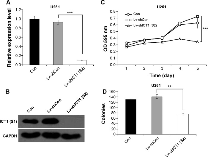 Effects of Lv-shICT1 (S2) on proliferation of U251 cells. The expression levels of immature colon carcinoma transcript-1 (ICT1) in non-treated, constructed lentiviruses containing non-silencing small hairpin RNA (Lv-shCon)-treated, and Lv-shICT1 (S2)-treated cells were determined by RT-qPCR analysis ( A ) and Western-blot analysis ( B ). ( C ) Statistical analysis of cell-proliferative rates in non-treated, Lv-shCon-treated, and Lv-shICT1 (S2)-treated cells. ( D ) Statistical analysis of colony numbers in non-treated, Lv-shCon-treated, and Lv-shICT1 (S2)-treated cells. Data are presented as mean ± SD of three independent experiments performed in triplicate. ** P μ0.01, *** P μ0.001 versus Lv-shCon. Abbreviations: con, control; OD, optical density; GAPDH, glyceraldehyde 3-phosphate dehydrogenase.