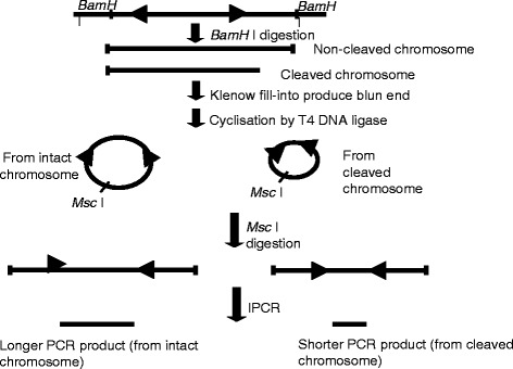 Flow chart showing DNA modification and IPCR. The arrow heads indicate the forward and reverse primers that were designed in opposite direction. Bam H I digestion yielded a mixture of intact chromosome and cleaved chromosome. Klenow fill-in produced blunt ended chromosome fragments which were then cyclilsed by T4 DNA ligase. The intact chromosome will become a large circle while the cleaved chromosome will become a smaller circle. Upon cyclisation, the primers are now in correct orientation for amplification. Msc I digestion cleaved both circles outside the amplification region, thus merely linearise the molecule. Amplification from intact MLL gene will produce longer PCR products while amplification from cleaved MLL gene will yield shorter PCR products