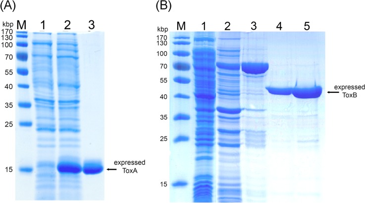 Bacterial expression of ToxA and ToxB. (A) ToxA expressed with a 6-His tag and purified by Ni-NTA affinity chromatography. Lane 1: Bacterial cell lysate from a non-induced bacterial culture; Lane 2: Bacterial cell lysate from an IPTG-induced culture; Lane 3: Eluted protein from the Ni-NTA column. The deduced molecular weight for ToxA-His was 12.7 kDa. (B) ToxB was expressed as a GST-fusion protein. Lane 1: Bacterial cell lysate from a non-induced culture; Lane 2: Bacterial cell lysate from an IPTG-induced culture; Lane 3: Eluted fraction from Sepharose 4B beads; Lanes 4 5: Fraction eluted from Sepahrose 4B after thrombin-cut. The estimated molecular weights for GST-ToxB and ToxB were approximately 76 and 50 kDa, respectively.