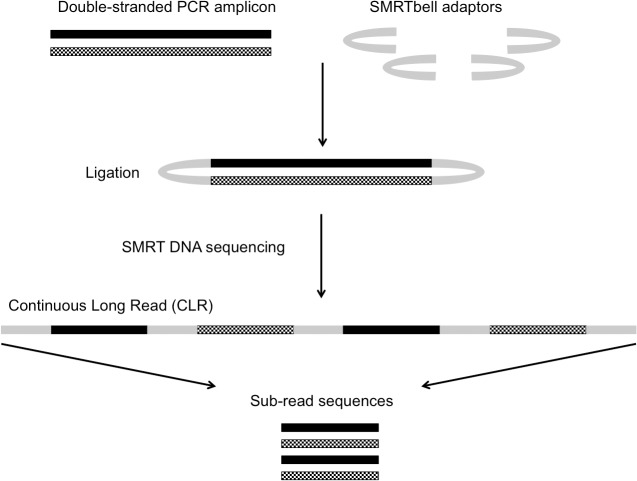 Basic stages of the Single Molecule Real-Time (SMRT) <t>DNA</t> sequencing method. SMRTbell adaptors are ligated onto the ends of a blunt-ended PCR amplicon to facilitate continuous sequencing of both strands of the amplicon. The entire sequence generated may include multiple copies of the sense and anti-sense strands of the PCR amplicon in a single read known as the Continuous Long Read (CLR). The post-sequencing bioinformatic post-processes are able to break down the CLR into shorter sub-reads, which encompass the sequence of one strand of the amplicon. These sub-reads can then be compared and used to create a consensus sequence.