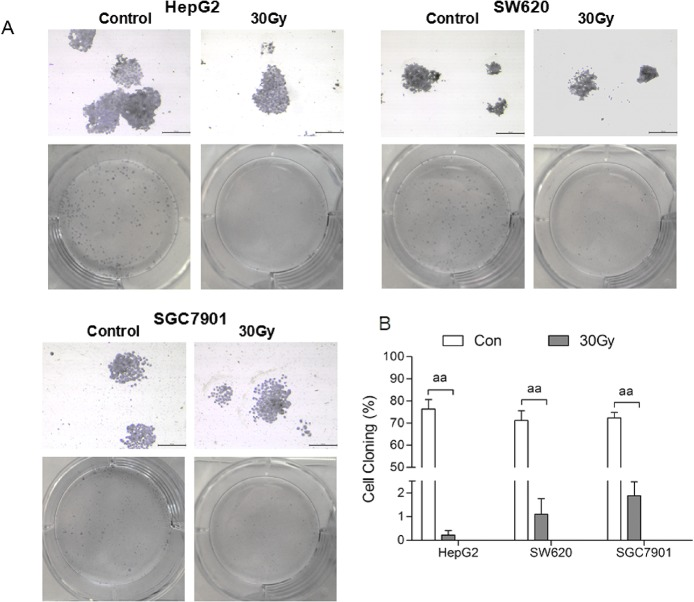 <t>137</t> Cs gamma-ray irradiation inhibits the colony formation by tumor cell lines in vitro . After 137 Cs gamma-ray irradiation (0, 30, 50 and 100 Gy), HepG2, SW620 and SGC7901 cells separated from human erythrocytes were cultured for 14 d, and then the colony formation was detected by Giemsa staining. Representative Giemsa staining (scale bar: 100 μm) of HepG2, SW620 and SGC7901 cells 7 d after irradiation (A). Colony formation rate of tumor cells at 14 d after irradiation (B). Data are means ± SEM; n = 6 erythrocyte samples from 6 volunteers in each group. aa P