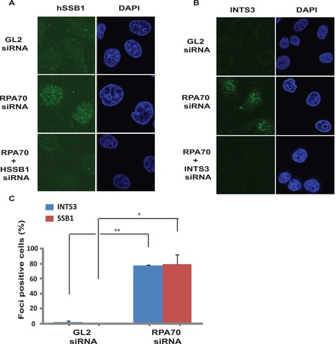 INTS3 and hSSB1 form sub-nuclear foci after RP70 depletion. ( A and B ) HeLa cells transfected on three consecutive days with GL2 or RPA70 siRNA in combination with HSSB1 or INTS3 siRNA as indicated were visualized for hSSB1 and INTS3 foci by immunofluorescence with rabbit anti-hSSB1 and goat anti-INTS3 antibodies respectively. Right panel displays the DAPI staining for each sample. Co-depletion of hSSB1 (A) or INTS3 (B) along with RPA70 confirms that the immunofluorescence signal is from the respective proteins. ( C ) Quantification of INTS3 and hSSB1 foci observed in the experiments described in parts A and B. Cells from GL2 or RPA70 siRNA transfected samples were scored for INTS3 and hSSB1 foci and are expressed as a percentage of total cells from each group. Data are represented as the mean ± SE. P- values were calculated using two-tailed t -test which displays that RPA70 siRNA transfected samples are significantly different from control GL2 siRNA transfected samples (* P- value