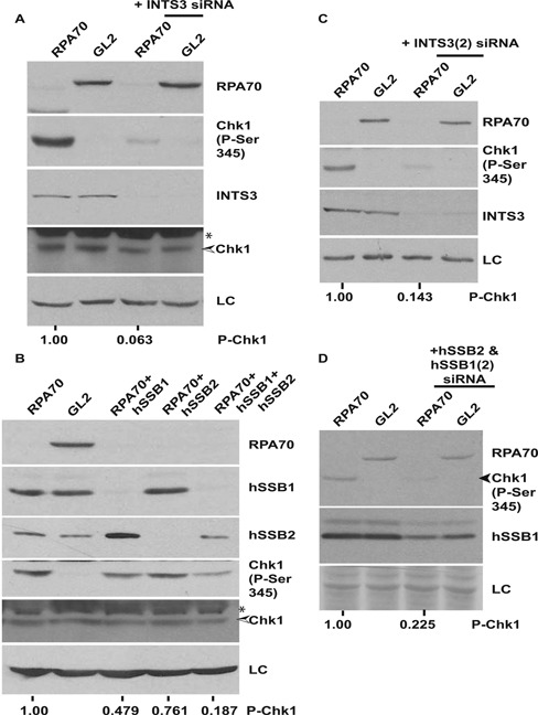 Chk1 phosphorylation in the absence of RPA70 is dependent on single-strand binding protein complex, hSSB1/2-INTS3. ( A ) HeLa cells were transfected on three consecutive days with GL2 or RPA70 siRNA in combination with INTS3 siRNA as indicated and the levels of RPA70, INTS3, total and phosphorylated-Chk1 were assayed. ( B ) HeLa cells were transfected on three consecutive days with GL2 or RPA70 siRNA in combination with HSSB1 and/or HSSB2 siRNAs as indicated and the levels of RPA70, hSSB1, hSSB2, total and phosphorylated-Chk1 were assayed. * points to a cross-reactive band while LC refers to the protein loading control. The numbers in parts A and B indicate phosphorylated-Chk1 levels following RPA70 depletion alone or in combination with INTS3 or hSSB1 2 after normalization with the protein loading control. ( C and D ) Different siRNA duplexes confirm the requirement of the hSSB1/2-INTS3 complex for Chk1 phosphorylation in RPA-depleted cells. HeLa cells were transfected on three consecutive days with GL2 or RPA70 siRNA in combination with different siRNA duplexes ( INTS3(2), HSSB2 HSSB1(2) ) than used in parts A and B. The numbers in parts C and D indicate phosphorylated-Chk1 levels following RPA70 depletion alone or in combination with INTS3 or hSSB1 2 after normalization with the protein loading control.