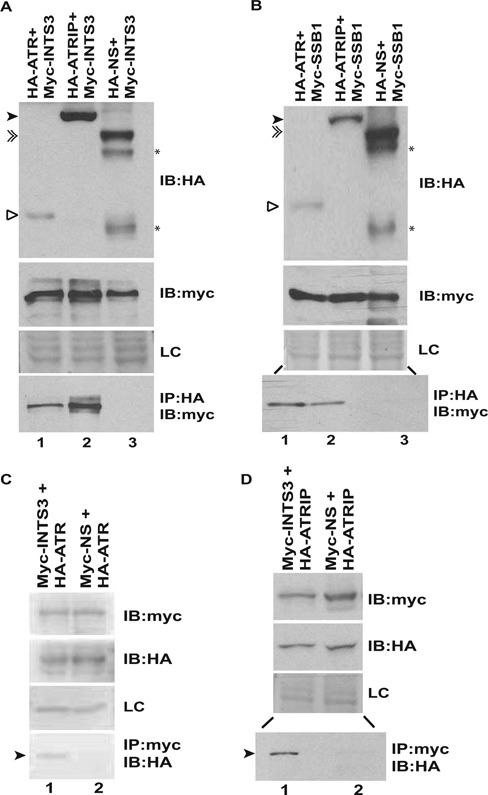 ATR-ATRIP complex associates with hSSB1/2-INTS3. ( A and B ) 293T cells were co-transfected with plasmids expressing HA-ATR (1–400 aa), HA-ATRIP or a non-specific protein (HA-NS) in combination with Myc-INTS3 or Myc-hSSB1 as indicated followed by immunoprecipitation (IP) with HA antibody. The lysates were normalized for the expression of HA-tagged and Myc-tagged proteins, shown by immunoblotting (IB) in the first and second panels, respectively. The bottom panel displays the co-immunoprecipitated Myc-tagged protein. HA-ATR (hollow arrowhead), HA-ATRIP (black arrowhead) and HA-NS (double arrowhead) have been marked while (*) displays multiple expression products of the non-specific protein (HA-NS). The expression of an endogenous non-specific protein (LC) in different transfected samples as visualized by Ponceau S staining has been shown. Note that lanes 2 and 3 of the bottom panel in part B are separated by an intervening lane to prevent any spill over artifacts. ( C and D ) 293T cells were co-transfected with plasmids expressing HA-ATR (1–400 aa) or HA-ATRIP in combination with Myc-INTS3 or a non-specific protein (Myc-NS) as indicated followed by immunoprecipitation with Myc antibody. The expression of Myc-tagged and HA-tagged proteins have been shown in the first and second panels respectively while the bottom panel displays the co-immunoprecipitated HA-tagged protein (black arrowhead). Myc-INTS3 and Myc-NS have similar mobility. Note that lanes 1 and 2 of the bottom panel in part D are separated by an intervening lane to prevent any spill over artifacts and other details are same as parts A and B.