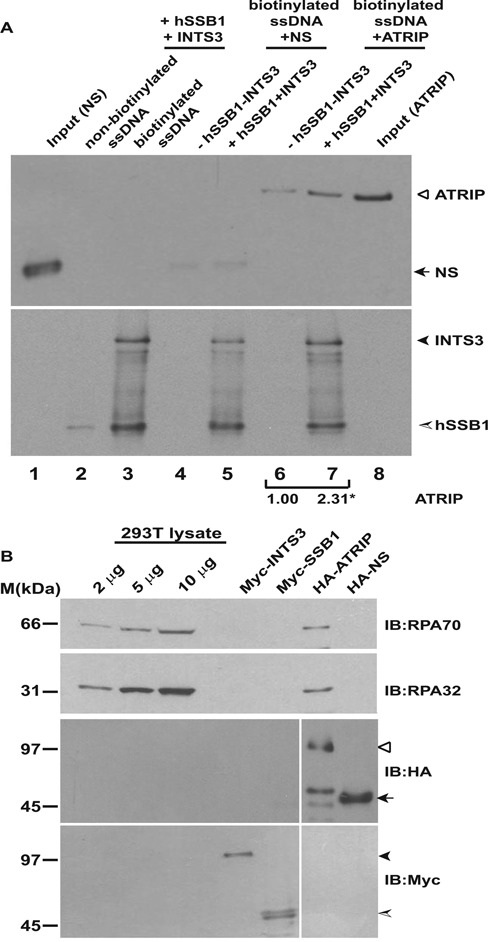 The single-strand binding protein complex, hSSB1/2-INTS3 recruits ATRIP to single-stranded DNA. ( A ) Myc-hSSB1, Myc-INTS3, HA-ATRIP and HA-tagged non-specific control protein (HA-NS) were individually expressed in 293T cells, purified by immunoprecipitation with anti-Myc or anti-HA antibodies and were eluted with Myc or HA peptides. For the single-stranded DNA-binding assay, streptavidin-agarose was incubated with non-biotinylated (lane 2) or biotinylated (lane 3) single-stranded DNA followed by incubation with Myc-hSSB1 and Myc-INTS3. Next, HA-ATRIP or HA-NS purified from 293T cells were incubated with streptavidin-agarose bound biotinylated ssDNA either in the absence (lanes 4 and 6) or presence (lanes 5 and 7) of bound Myc-hSSB1 and Myc-INTS3. After washing, the bound proteins were identified by immunoblotting with anti-HA (top panel) and anti-Myc (bottom panel) antibodies. 10% of NS and ATRIP utilized for binding to streptavidin-agarose has been shown in lanes 1 and 8 respectively and specific proteins have been marked by arrowheads. The control protein (NS) did not bind to hSSB1-INTS3 complex, ruling out non-specific association. The numbers indicate relative binding of HA-ATRIP to ssDNA in the absence or presence of Myc-hSSB1 and Myc-INTS3. * P -value was calculated using two-tailed t -test which displays that the ATRIP binding observed in the absence or presence of hSSB1-INTS3 complex is significantly different (* P- value = 0.043). ( B ) RPA complex is absent in Myc-hSSB1 and Myc-INTS3 immunoprecipitates. Myc-hSSB1, Myc-INTS3, HA-ATRIP and HA-NS proteins expressed in 293T cells and purified by elution with Myc or HA peptides following immunoprecipitation were immunoblotted with anti-RPA70 (top panel) and anti-RPA32 (second panel) antibodies for detecting endogenous RPA70 and RPA32. As reported earlier, RPA complex physically associates with ATRIP but is absent from hSSB1-INTS3 complex. Note the high sensitivity of detection of endogenous RPA70 and RPA32 in 293T cell lysate. HA-ATRIP (hollow arrowhead), HA-NS (black arrow) Myc-INTS3 (black arrowhead) and Myc-hSSB1 (shaded arrowhead) have been marked.