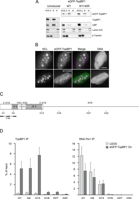 eGFP-TopBP1 associates with chromatin, localizes predominantly in nucleoli in permeabilized cells and binds to the transcribed region of the rDNA repeat. ( A ) Cells were left non-induced or induced to express eGFP-TopBP1, WT or W1145R, as indicated. Cells were left unfractionated (WCE, whole cell extract) or fractionated in soluble/cytoplasmic (S), chromatin bound (B) or matrix (M) fractions as described in 'Materials and Methods' section and subjected to immunoblotting. UBF is shown as a control for protein binding to chromatin, Lamin A/C as a nuclear matrix protein and β-Tubulin as a cytoplasmic protein. ( B ) Cells induced to express eGFP-TopBP1 WT or W1145R, were treated with detergent before fixing. Wide-field images show endogenous Nucleolin (NCL) or eGFP-TopBP1. Merge shows an overlay of panels (DNA excluded). Scale bar is 10 μm. ( C ) Schematic presentation of a complete rDNA repeat unit (U13369) that shows transcribed region (boxed area), 5′ and 3′ external transcribed spacers (ETS), internal transcribed spacers (ITS1 and ITS2), the source of 18S, 5.8S and 28S rRNAs, and the non-transcribed spacer (NTS). Positions of primer pairs H1, H4, H13, H18, H27 and H32 at the rRNA gene are shown. All positions and lengths of elements are in scale. ( D ) Quantification of ChIP with anti-TopBP1 (left) and anti-RNA Pol I (right) IPs in assays using nuclear material from normal U2OS cells or from cells that were induced to express eGFP-TopBP1. DNA was quantitated by qPCR using primer pairs indicated in (C). Quantification is presented as percentages of input material precipitated. Mean values of three independent experiments are shown with standard deviations.