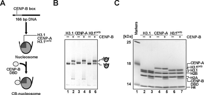 CENP-B binds to the CENP-A and H3.1 nucleosomes. ( A ) Schematic representation of CENP-B DBD binding to nucleosomes. ( B ) Electrophoretic mobility shift assay. The H3.1, CENP-A and H3.1 CATD nucleosomes (lanes 1, 3 and 5, respectively) and those complexed with the CENP-B DBD (lanes 2, 4 and 6, respectively) were analyzed by <t>non-denaturing</t> 6% <t>polyacrylamide</t> <t>gel</t> <t>electrophoresis</t> with ethidium bromide staining. ( C ) Protein contents of the H3.1, CENP-A and H3.1 CATD nucleosomes (lanes 2, 4 and 6, respectively) and those complexed with the CENP-B DBD (lanes 3, 5 and 7, respectively), analyzed by SDS-15% polyacrylamide gel electrophoresis with Coomassie Brilliant Blue staining.