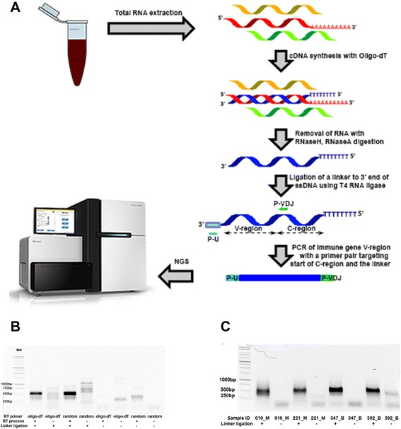 PCR method utilizing single target-specific primer to explore actively transcribed immune genes. A) , The scheme of an integrative approach to explore immune repertoire from whole blood (P-U represents a universal primer sitting on the linker, whereas P-VDJ represents a TRB-specific primer targeting the consensus sequence in the constant region right after J-segment); B) , DNA gel image of PCR amplified variable region (V-region) of TRB gene from a healthy donor under different conditions; C) , DNA gel image of amplicons from malignant and benign patients under linker ligation or control condition.