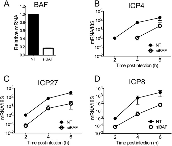 Effect of BAF on viral transcript levels. HFF cells were transfected with NT control or BAF-specific siRNA and infected with HSV-1 at an MOI of 10. (A) Knockdown efficiency was confirmed by quantitative RT-PCR. (B to D) Cells were harvested at the postinfection times indicated, total RNAs were prepared, and IE ( ICP4 [B] and ICP27 [C]) and E ( ICP8 [D]) gene mRNA levels were measured by quantitative RT-PCR. The mRNA levels were normalized to 18S rRNA. Results shown are means and standard deviations from three independent experiments.