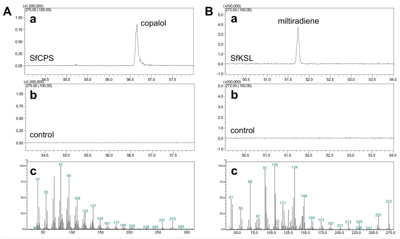 The functional characterization of SfCPS and SfKSL in E . coli . A) SfCPS characterization . (a) GC-MS profile (275 m/z extracted ion chromatograms) of the dephosphorylated product of mature SfCPS incubated with GGDP. (b) GC-MS of the control reaction- substrate GGDP omitted. (c) Mass spectrum of the product peak- copalol. B) SfKSL characterization . (a) GC-MS profile (272 m/z extracted ion chromatograms of the product (miltiradiene) of coupled reaction of SfCPS and SfKSL with GGDP as substrate, b) GC-MS profile of the enzymatic assay with SfCPS omitted. c) Mass spectrum of the reaction product—miltiradiene.