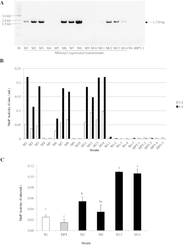 Co-transformation of <t>Phlebia</t> sp. strain MG-60 with p PbGPD -MG mnp 2 and p PbGPD-HPT . A , Detection of the MG mnp2 gene in 10 of 14 regenerated protoplasts co-transformed with p PbGPD-HPT and p PbGPD -MG mnp 2 by <t>PCR</t> amplification using primers PbGPD-prom -F1 and g MG mnp2-Asc- R1. M indicates a 1 kb ladder size marker, Wt indicates the wild type, HPT indicates the hygromycin resistant transformant, and M1–M14 indicate MG mnp2 regenerated transformants. B , MnP activity in Kirk's high-nitrogen culture medium under aerobic condition for 3 d (white column) and 6 d (black column). One unit of MnP activity was defined as 1 μmol reaction product formed per minute. C , MnP activity of various strains in the extracts of Quercus wood powder medium under aerobic condition for 20 d. The tests, using three flasks per strain, were carried out independently. Data are means ± SE (n = 3) and values without a common superscript letter are significantly different at p