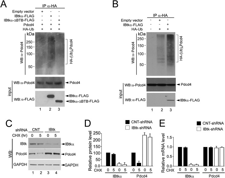 IBtkα promotes the Pdcd4 polyubiquitylation and degradation. A , IBtkα promotes the polyubiquitylation of exogenously expressed Pdcd4. HEK293T cells (3 × 10 6 ) were transfected with Pdcd4 (4 μg) with or without IBtkα-FLAG, IBtkαΔBTB-FLAG, HA-tagged ubiquitin, or empty vector (4 μg). Forty-eight hours later, cells were treated with MG132 (20 μ m ) for 4 h before lysis. Cell extracts were subjected to IP with anti-HA antibody, and immunocomplexes were resolved by SDS-PAGE on a 6% gel, followed by WB with the indicated antibodies. B , IBtkα promotes the polyubiquitylation of endogenous Pdcd4 in vivo. C , IBtkα RNA interference increases the Pdcd4 protein content. HeLa cells (3 × 10 6 ) were transduced with control shRNA ( CNT-shRNA ), or IBtk shRNA for 48 h and then incubated with CHX (100 μg/ml) for up to 5 h. Cell lysates (30 μg) were analyzed by WB with the indicated antibodies. D , densitometric analysis of WB protein bands relative to the experiment described in C . Optical density of WB protein bands was expressed as arbitrary units normalized to control shRNA taken as a value of 100. Mean values ± S.D. ( error bars ) of three independent experiments are shown. E , IBtkα RNA interference does not affect the Pdcd4 mRNA level. HeLa cells were transduced as described in C , total RNA was extracted 48 h later, and IBtkα and Pdcd4 transcripts were measured by quantitative RT-PCR. Relative mRNA levels were expressed as arbitrary units normalized to control shRNA taken as 1.0. Mean values ± S.D. of three independent experiments are shown.