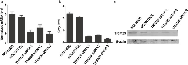 Specific downregulation of tripartite motif (TRIM)29 messenger ribonucleic acid (mRNA) and protein expression by <t>TRIM29</t> small interfering (si)RNA. Cells were transfected with TRIM29 <t>siRNA</t> or scrambled siRNA (siCONTROL) for 48 hours. (a) The relative mRNA level of TRIM29 was quantified by real-time polymerase chain reaction analysis, and 18S was used as an internal standard. (b) The relative TRIM29 protein level was determined by Western blotting, and data was normalized using β-actin as an internal standard. Compared with TRIM29 siRNA1 and 2, siRNA3 mostly silenced TRIM29 expression. P