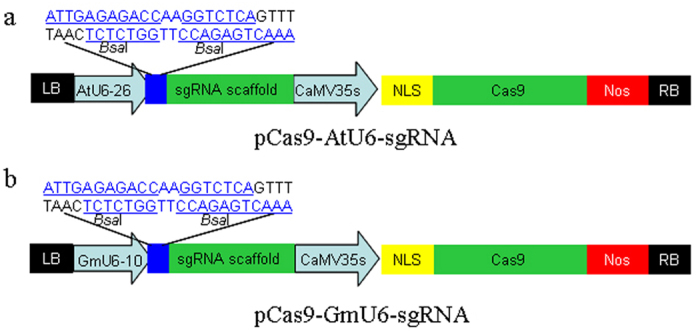 Construction of binary vectors for genome editing in soybean. Cas9 fused with a single nuclear localization signal (NLS) is expressed with a Cauliflower mosaic virus 35s (CaMV 35s) promoter. Synthetic guide RNA (sgRNA) is derived using U6 promoters. ( a ) Arabidopsis thaliana U6-26 promoter ( b ) Glycine max U6-10 promoter. Sequences containing two Bsa I sites are located between the U6 promoter and the sgRNA scaffold. These sequences can be easily replaced with a gene-specific sgRNA seed. LB: left border; RB: right border.