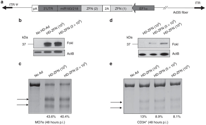 Transduction studies with HD-Ad5/35.ZFNmiR. ( a ) Vector genome structure. The two ZFN subunits are linked trough a self-cleaving viral 2A peptide. The ZFN coding sequence is upstream of miR-183/218 target sites and 3′UTR. Both ZFN subunits are transcribed from the EF1a promoter. In CD34+ cells, the mRNA will not be degraded, and a polyprotein will be expressed which will subsequently be cleaved into the two ZFN subunits at the 2A peptide. ( b , d ) Expression of ZFN protein in ( b ) MO7e cells or ( d ) CD34+ cells after transduction with the HD-Ad5/35.ZFNmiR vector (HD-ZFN) at the indicated MOIs. Cells were harvested 48 hours later, and cell lysates were analyzed by western blot with antibodies against the Fok1 domain. Actin B is used as loading control. ( c,e ) T7E1 nuclease assay. Genomic DNA from transduced ( c ) MO7e cells or ( e ) CD34+ cells was subjected to a PCR assay based on a T7E1 nuclease that detects mutations. 11 PCR products were separated by polyacrylamide gel electrophoresis. Bands that correspond to disrupted ccr5 alleles are marked by arrows. The expected size of cleavage products is 141 and 124 bp. The numbers below the lanes indicate the % of disrupted ccr5 alleles. Studies were done with CD34+ cells from donor A. MOI, multiplicity of infection; ZFN, zinc-finger nuclease.