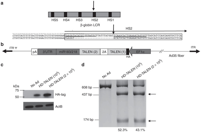 Structure and functional analysis of an HD-Ad5/35 vector expressing a globin LCR-specific TALEN. ( a ) Target site of TALEN. Shown is the structure of the globin LCR with DNase hypersensitivity sites HS1 to HS5. The lower panel shows the 5′ sequence of the HS2 target site labeled by a horizontal arrow. The lines above and below the sequence indicate the binding sites of the two TALEN subunits, respectively. The vertical bold arrow marks the TALEN cleavage site. ( b ) Structure of the HD-Ad5/35.TALENmiR (HD-TALEN) genome. In analogy to the ZFN vector, the two TALEN subunits were linked through a 2A peptide at the 3′ end to the miR183/218 target sequence-containing 3′UTR. The N-terminus of TALEN (1) contained an influenza hemagglutinine (HA) tag. ( c ) Expression of TALEN in MO7e cells. Cells were infected at an MOI of 1,000 vp/cell, and cell lysates were analyzed by western blot with antibodies specific for HA-tag. ( d ) T7E1 nuclease assay analysis. Genomic DNA was isolated from MO7e cells 48 hours after infection at an MOI of 10 3 , 2 × 10 3 vp/cell and subjected to PCR using globin LCR H2-specific primers. The expected length of PCR products is 608, 434, and 174 bp. MOI, multiplicity of infection; vp, viral particle; ZFN, zinc-finger nuclease.