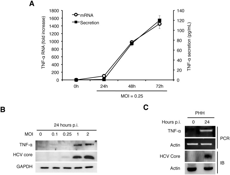 Induction of TNF-α by HCV. (A) Quantification of TNF-α in the culture media. Huh7 cells were infected with HCV (MOI = 0.25) and the culture media were collected at 0, 24, 48, and 72 hours post-infection. The level of TNF-α in the media was determined by ELISA and the TNF-α RNA in the cells were quantified by qRT-PCR. Bars indicate standard deviations calculated from three independent experiments. (B) Immunoblot analysis of TNF-α induction by HCV. Huh7 cells were infected with HCV using MOI of 0, 0.1, 0.25, 1 or 2 for 24 hours. Cells were then lysed for immunoblot analysis of TNF-α and the HCV core protein. GAPDH served as the loading control. (C) Induction of TNF-α in primary human hepatocytes (PHHs) by HCV. PHHs with or without HCV infection (MOI = 0.25) for 24 hours were lysed for analysis. Top two panels, semi-quantitative RT-PCR analysis of the TNF-α RNA and the actin RNA; bottom two panels, immunoblot analysis of the HCV core protein and α-actin.