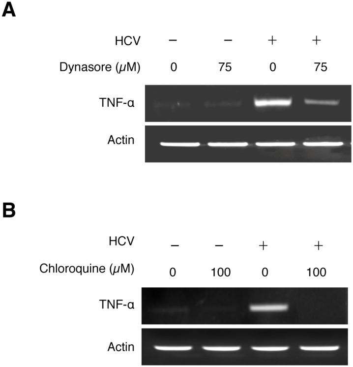 Induction of TNF-α by HCV is dependent on the endocytic pathway. Huh7 cells were pre-treated with 75 μM Dynasore (A), 100 μM Chloroquine (B), or the vehicle DMSO for 1 hour and during HCV infection (MOI = 0.25). Total cellular RNA was isolated at 2 hours post-infection for semi-quantitative RT-PCR analysis.