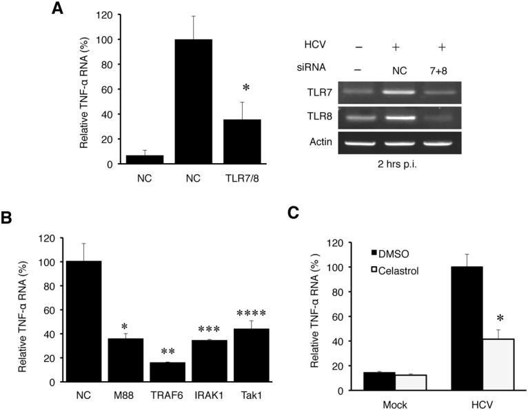 TNF-α induction by HCV is dependent on the TLR7 and TLR8 signaling pathway. (A) Huh7 cells were transfected with negative control (NC) siRNA or siRNAs targeting TLR7 and TLR8 for 6 hours, after which the siRNA complex was removed. At 48 hours post transfection, cells were mock-infected (-) or HCV-infected (+) (MOI = 1) for 2 hours. Total cellular RNA was then isolated and subjected to qRT-PCR for the analysis of TNF-α RNA (left panel). The knockdown efficiency of TLR7 and TLR8 was measured by semi-quantitative RT-PCR using actin RNA as a control (right panel). *, p