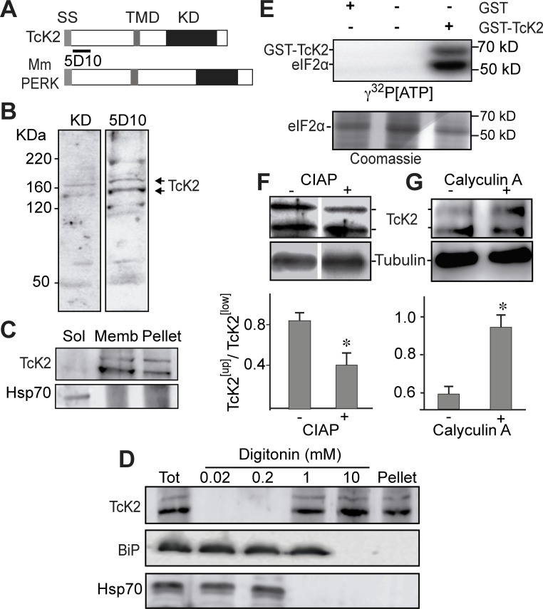 T. cruzi K2 is a membrane bound protein kinase that undergoes autophosphorylation and phosphorylates the parasite eIF2α. (A) Comparative topology of T. cruzi (TcK2) and Mus musculus (Mm) PERK indicating the signal sequence (SS), the transmembrane (TMD) and the kinase (KD) domains. (B) Western blot of total extracts of T. cruzi epimastigotes incubated with an antiserum from a rabbit immunized with a recombinant protein corresponding to T. brucei K2 KD or with a mAb 5D10 prepared against a recombinant K2 fragment located as indicated in panel (A). (C) Western blot of the 100,000 g supernatant (Sol) (1 h centrifugation) from parasites extracts; of the supernatant from the previous pellet after extraction with 1% Triton X100 in the same buffer extraction (Memb) and of the insoluble fraction after detergent extraction (Pellet). T. cruzi epimastigotes were lysed in 0.1 M NaCl, 50 mM Tris-HCl (pH 7.4), 2 mM MgCl 2 , 10 mM ethylene-glycol tetra-acetic acid, containing the cOmplete cocktail by three freezing and thawing cycles. The blots were probed with anti-TcK2-KD and anti-Hsp70 antibodies. (D) Western blot of lysates of epimastigotes (Tot), or the supernatants of epimastigotes lysed in the presence of indicted amounts of digitonin as described [ 21 ] and probed with and anti-TcK2 and anti-BiP and anti-HsP70 antibodies. (E) SDS-PAGE of 6XHis-tagged TceIF2α incubated in the presence of indicated proteins for 15 min with [ 32 P]-γ-ATP. The upper panel shows the autoradiogram and the bottom panel the same gel stained with Coomassie Blue R250. (F) and (G) are blots of, respectively, total extracts of T. cruzi epimastigotes treated with CIAP or of cells pre-incubated for 2 h without (−) or with (+) 10 nM of calyculin A. Anti-β-tubulin was used as a loading control. The histograms below the gel represent the relative amounts of the upper phosphorylated band of TcK2 (TcK2 [Up] ) and the fast migrating band of TcK2 (TcK2 [Low] ). The values are mean and standard deviations of tri