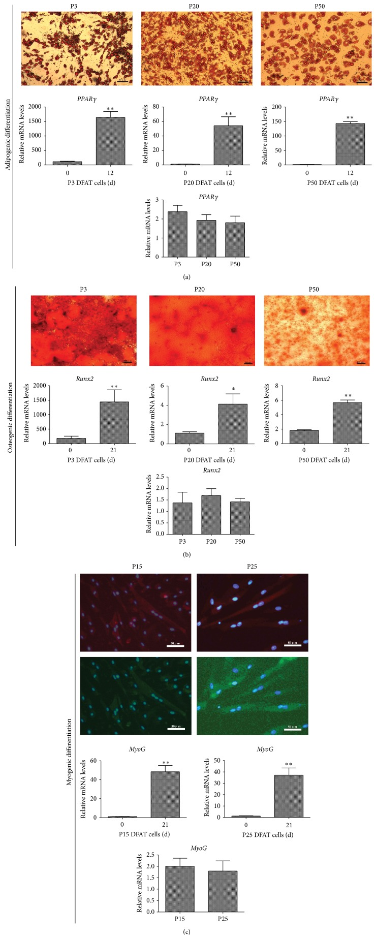 Multilineage differentiation of porcine DFAT cells. (a) Adipogenic differentiation of DFAT cells at P3, P20, and P50 was induced by MDI (high-glucose DMEM containing 10% FBS, 1 μ M dexamethasone, 500 μ M isobutylmethylxanthine (IBMX), 10 μ g/mL insulin, and 200 μ M indomethacin) for 12 days. Lipid droplets were stained by Oil Red O, bar, 50 μ m. Expression of PPARγ mRNA was assessed by real-time PCR. (b) Osteogenic differentiation of DFAT cells at P3, P20, and P50 was induced by induction medium (high-glucose DMEM containing 10% FBS, 0.1 μ M dexamethasone, 10 mM β -glycerophosphate, and 50 mM ascorbic acid) for 21 days, bar, 200 μ m. Expression of Runx2 mRNA was assessed by real-time PCR. (c) Myogenic differentiation of DFAT cells at P15 and P25 was induced by Galectin-1 for 21 days, expression of myogenic markers was confirmed by immunofluorescence analysis for Desmin and MyHC, and the nuclei were stained by DAPI. Images were merged by Desmin (red) and MyHC (green) with DAPI (blue), bar, 50 μ m. Expression of MyoG mRNA was assessed by real-time PCR. All values are represented as mean ± SD from three independent experiments. ∗ p