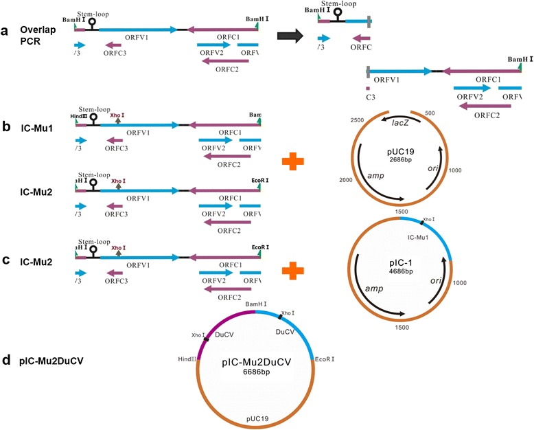 Construction strategy of pIC-Mu2DuCV. a Two full-length genomes of DuCV strain GH01, denoted IC-Mu1 and IC-Mu2, were amplified by overlapping PCR. b IC-Mu1 and IC-Mu2 were ligated into the pUC19 vector to yield pIC-Mu1 and pIC-Mu2, respectively. c IC-Mu2 was ligated head-to-tail to pIC-Mu1 to produce a tandem-dimerized DuCV DNA clone, which was denoted pIC-Mu2DuCV. d pIC-Mu2DuCV