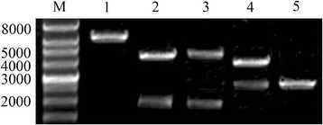 Identification of the recombinant plasmid pIC-2DuCV by restriction enzyme digestion. M, wide-range DNA marker (500 ~ 12,000); 1, digested with Hind III; 2, digested with Hind III and BamH I; 3, digested with BamH I and EcoR I; 4, digested with Hind III and EcoR I; 5, pUC19 digested with Hind III