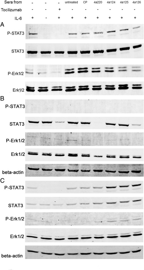 Signaling pathway analysis with mimotope-induced antibodies. We detected the levels of phosphorylated-STAT3, STAT3, phosphorylated-Erk1/2 and Erk1/2 in HeLa, Jurkat and U937 cells to observe whether IL-6 pathway could be down-regulated by when added sera from mice immunized with mimotopes. Cells were grown at 37 °C with medium containing 10 % FBS. Two days later, the medium was replaced by FBS-free medium with sera from mimotopes immunized mice with a dilution 1:100 or Tocilizumab (10 μg/ml) at 37 °C for 2 h. Then the cells were incubated with human IL-6 (40 ng/ml) for 15 min at 37 °C. In HeLa cells ( a ), incubation with sera from mice immunized with 4A125 and 4A126 could partly reduce the levels of phosphorylated-STAT3 and phosphorylated-Erk1/2, as compared to the control group. In Jurkat cells ( b ), incubation with sera from mice immunized with 4A220 and 4A126-KLH conjugate could reduce the level of STAT3, phosphorylated-Erk1/2 and Erk1/2. In U937 cells ( c ), incubation with sera from mice immunized with 4A124, 4a125 and 4A126-KLH conjugate could increase the level of phosphorylated- STAT3, STAT3 and phosphorylated-Erk1/2